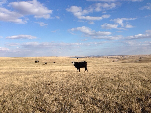 south dakota cowgirl photography, south dakota, south dakota cattle ranches, brangus cattle