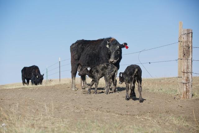 brangus, ranchlife, twin calves, south dakota cattle, black cattle, angus cattle