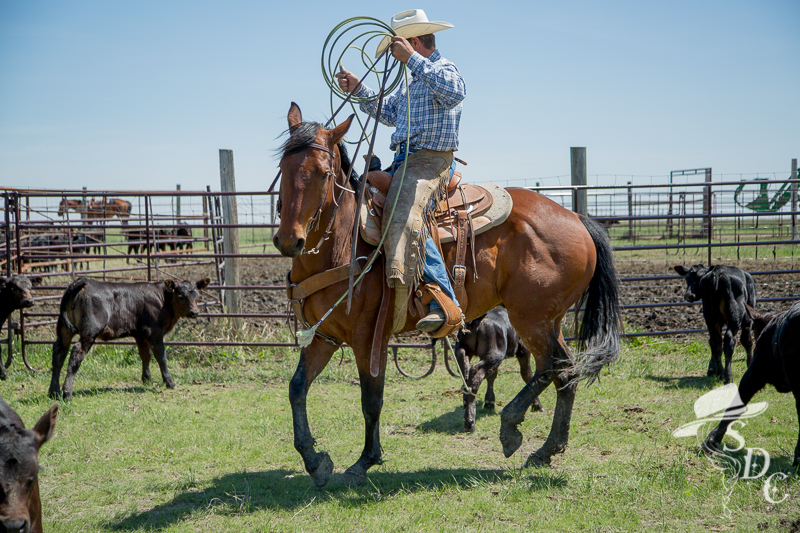 The Branding Pen. Photo of Jesse Clement, Taken by The South Dakota Cowgirl.