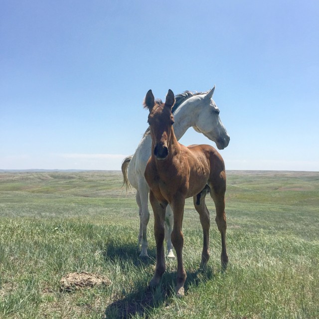 DX Nuklear IronMan, 2015 Colt by WDX Nukem out of Streakin Iron. Photo by The South Dakota Cowgirl.