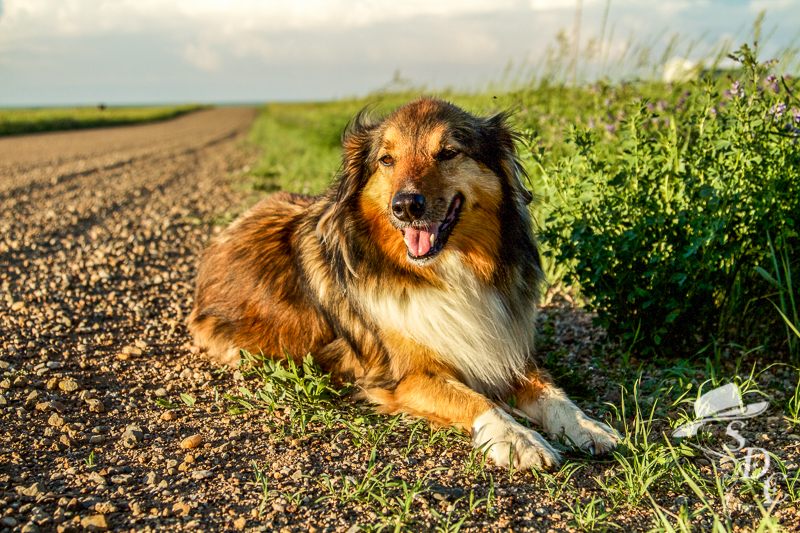 the south dakota cowgirl, english shepherd, good photography, what makes good photography, different perspective, english shepherd