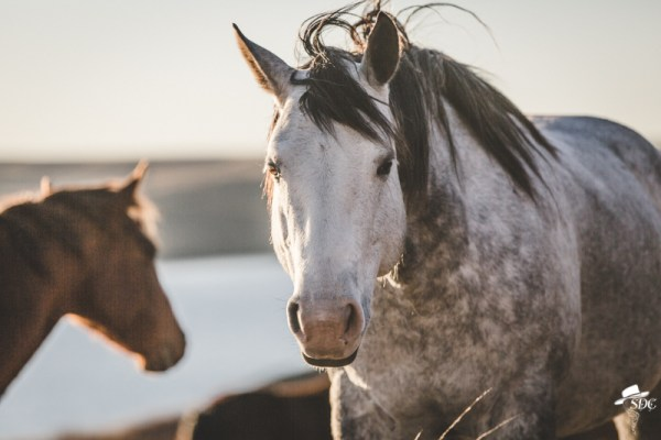 Pretty Light, South Dakota Cowgirl Photography, Gray Horse