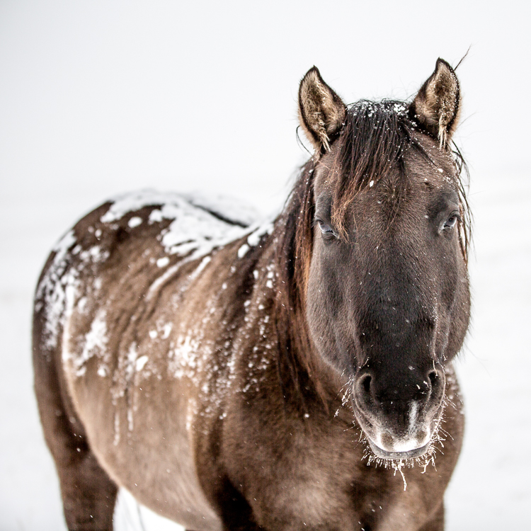 Flint in the Snow. High Key, Negative Space image by The South Dakota Cowgirl.