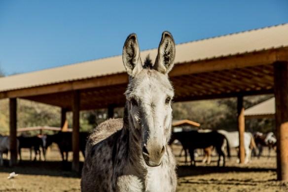 tony the donkey at circle z