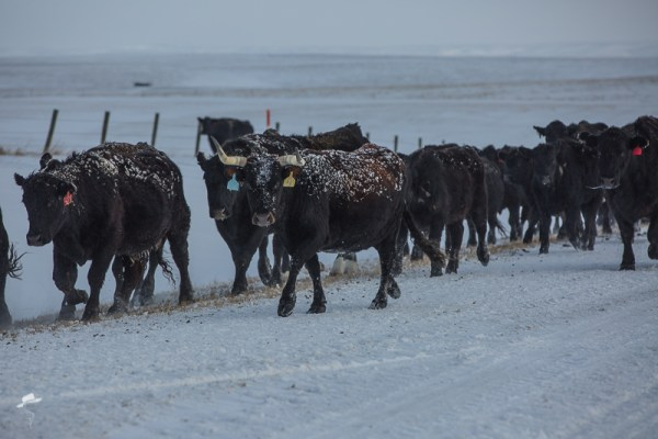 winter cow work, the south dakota cowigirl, cowboys, cattle work, winter in south dakota