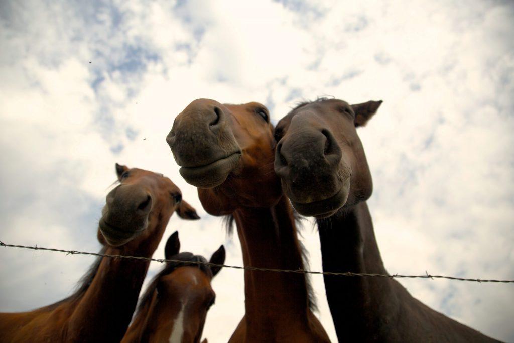sleep habits of horses, horses sleep standing up
