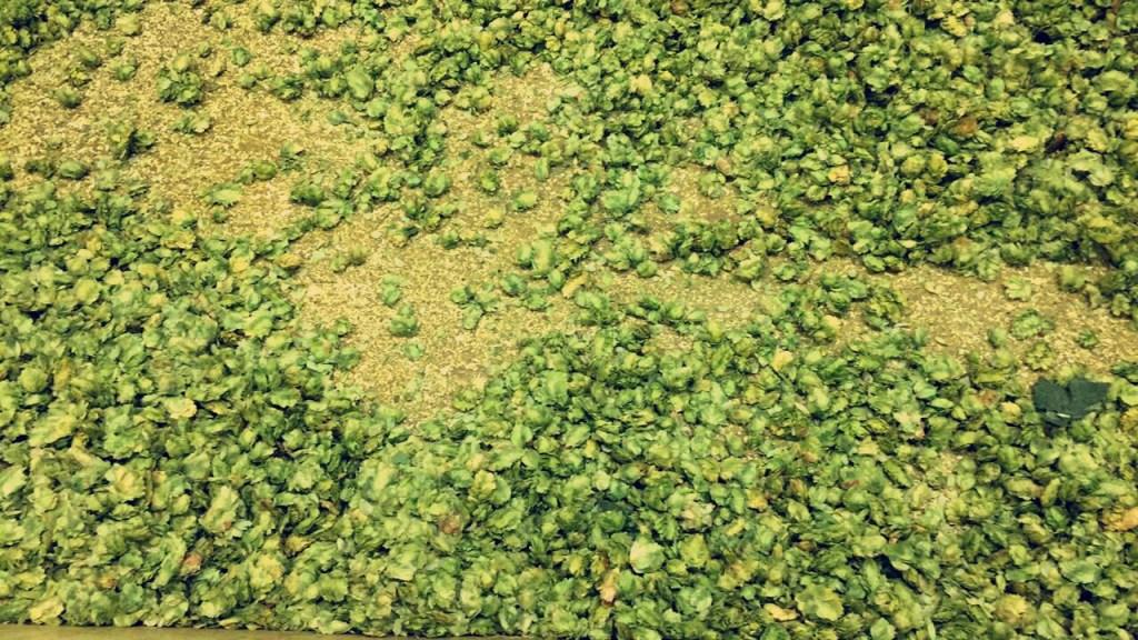 hops from Sierra Nevada