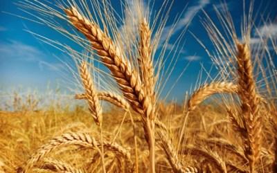 Wheat Allergies, Anyone?
