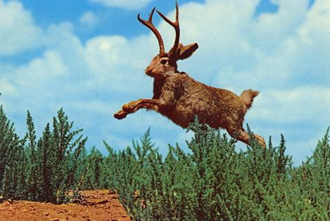 jackalope_in_the_wild_large.jpg