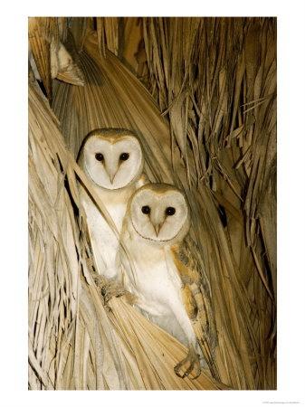 barn owl palm tree