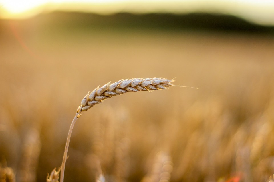 grain-1929944_1920