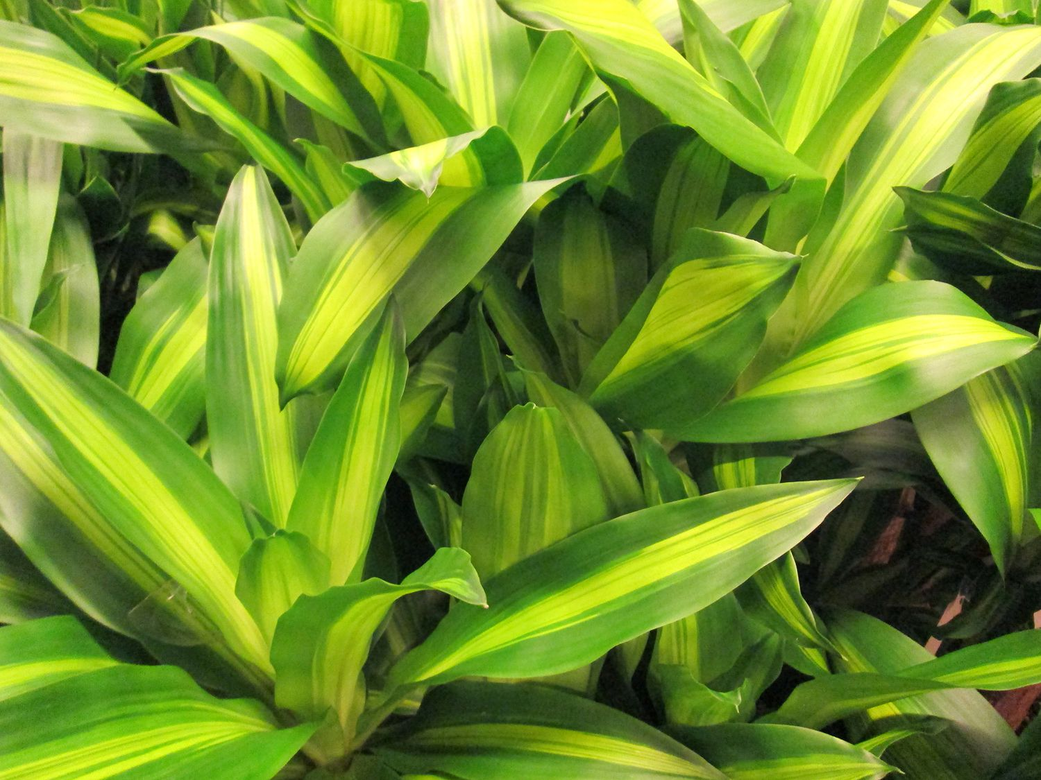How To Grow And Care For Corn Plants (Dracaena Fragrans