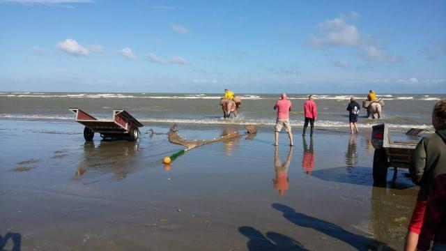 Horses pulling shrimp fishing nets
