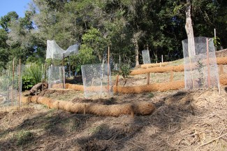 Reclaimed land from lantana thickets is protected with coir logs