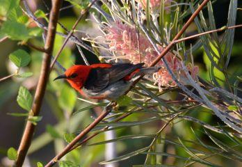 Scarlet honeyeater - male
