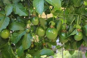 Passionfruit has gone berserk!