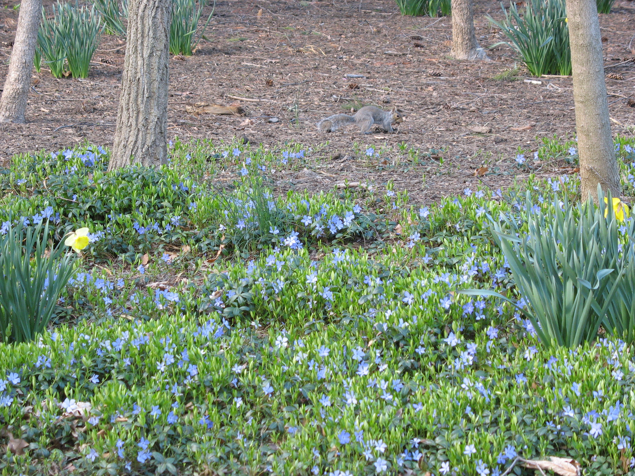 ground cover  the squirrel nutwork