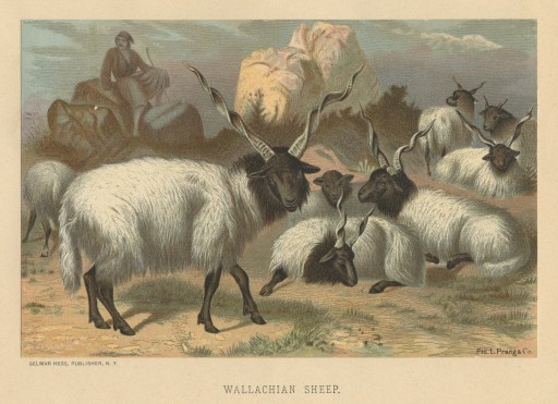 WallachianSheep copy