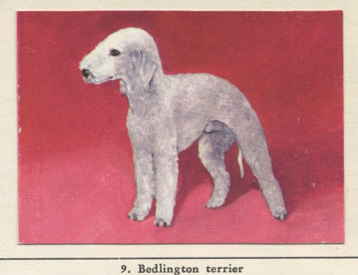 BedlingtonNo.9