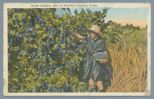 grapeculture