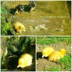 ducklings collage