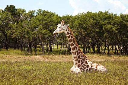 GiraffeSit
