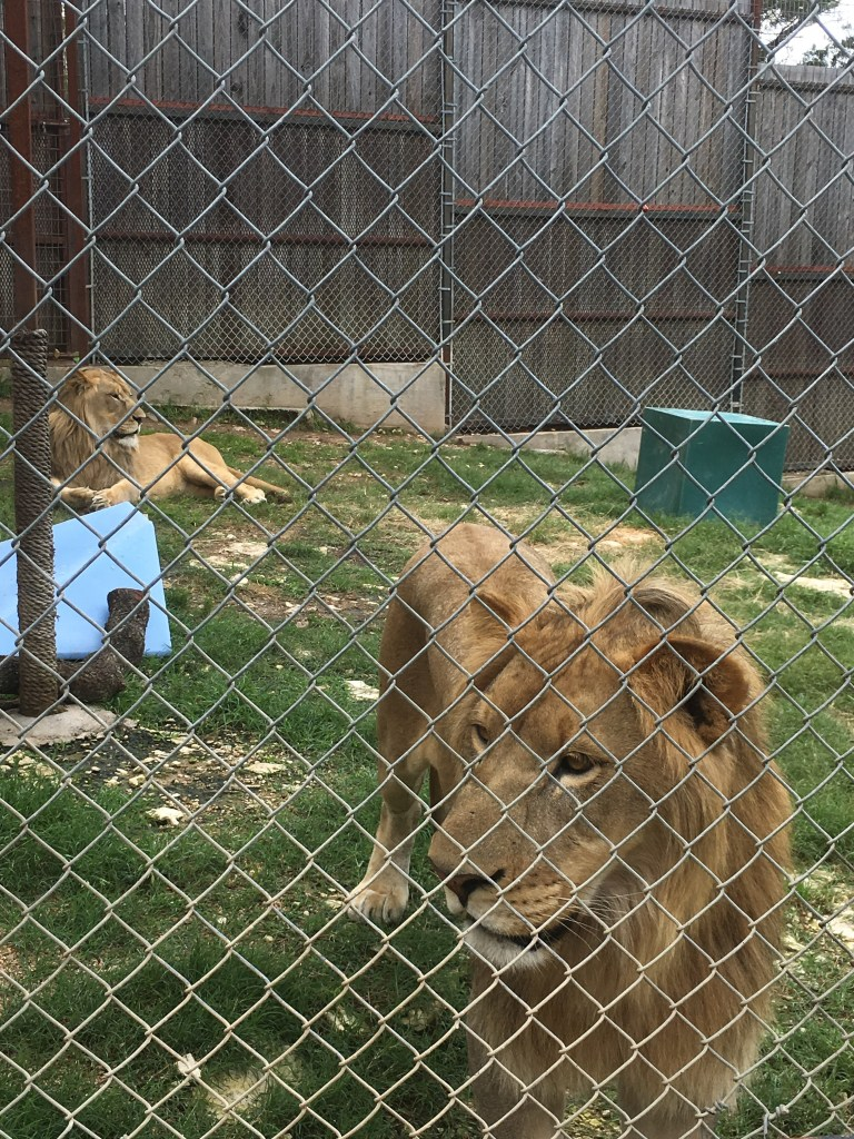 these 2 lion cubs are from South Africa!