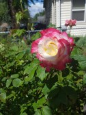 The first rose of the year!!