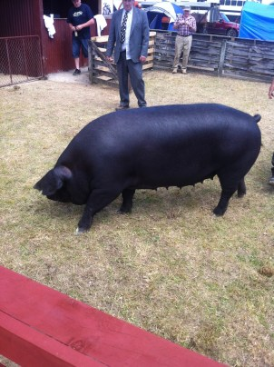 Pig, Large Black, Piggery, A&P