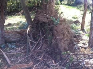 The neighbours trees were uprooted.