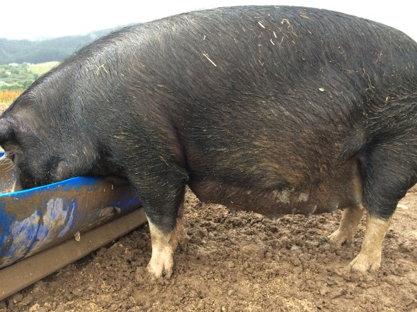 Clarissa just days off farrowing, check out the size of that belly.