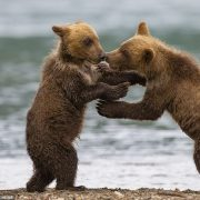 Young bear siblings play fight while mum's back is turned
