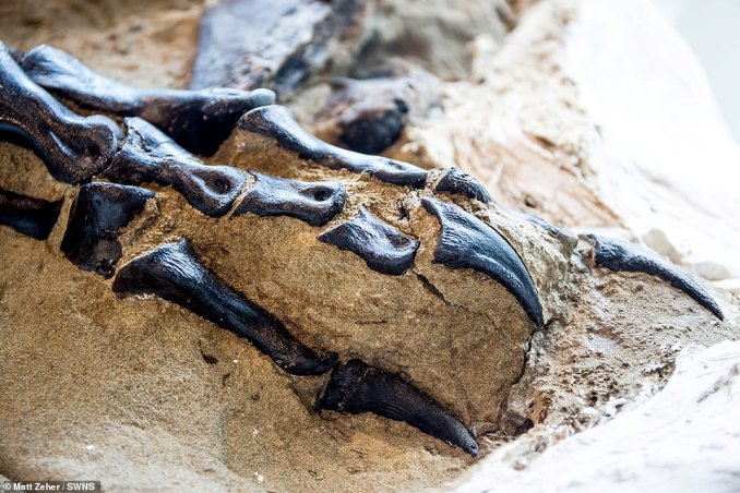 The pair - nicknamed the 'Dueling Dinosaurs' - are preserved together in what is thought to be a predator-prey encounter, where both fought to the death