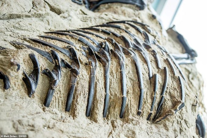 The fossils were acquired by the nonprofit organization Friends of the North Carolina Museum of Natural Sciences solely via private funds, and will be gifted to the Museum's Vertebrate Paleontology Collection