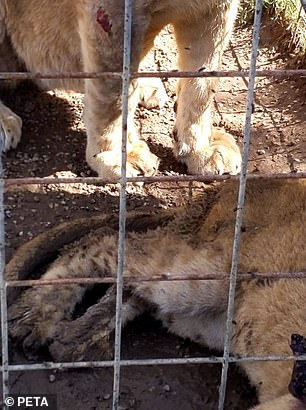 Photos shared by PETA show lions at Greater Wynnewood Exotic Animal Park with injuries