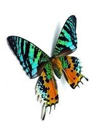 Madagascan Sunset Moth Tiny Necklace