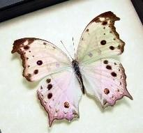 Mother of Pearl Butterfly Moon Necklace