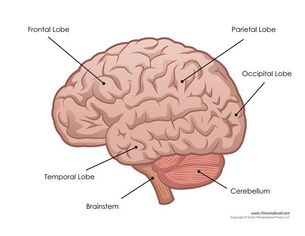 illustration of the parts of the human brain