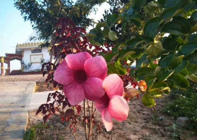 Beautiful pink flowers next to the Buddhist pagoda at Shwe Chaung Meditation Center