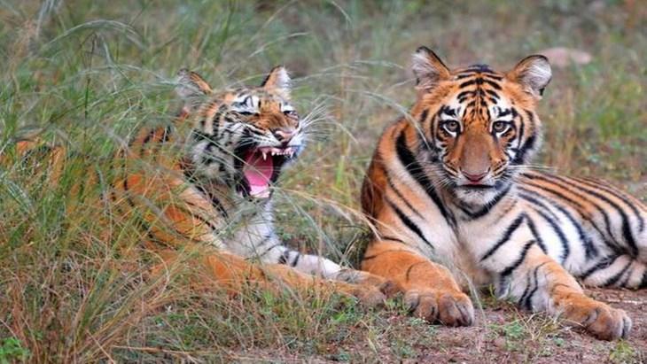 Tiger population of India