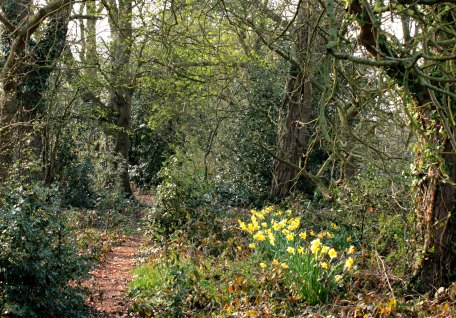 jubilee walk with daffodils2