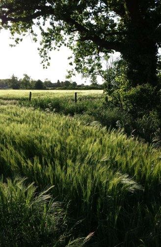 barley field on windy day