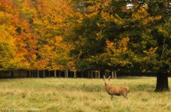 Stag in deer park
