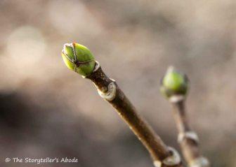 Swelling Buds