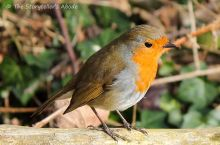 robin 1 small