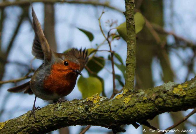 robin 5 small