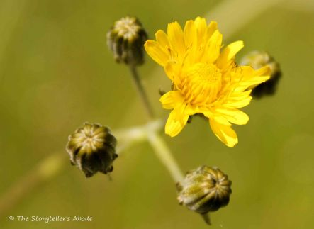 64 Yellow flower - cats ear
