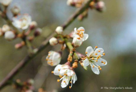 hawthorne blossom 2