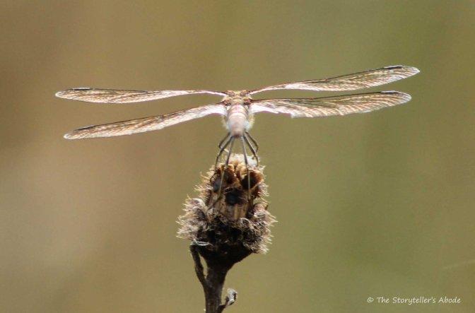 dragonfly-4