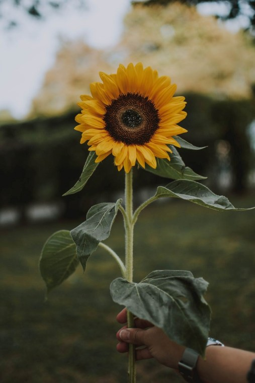 Yellow Mellow Sun Flower
